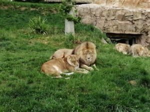 Lions Beauval - Chambres d'hôtes